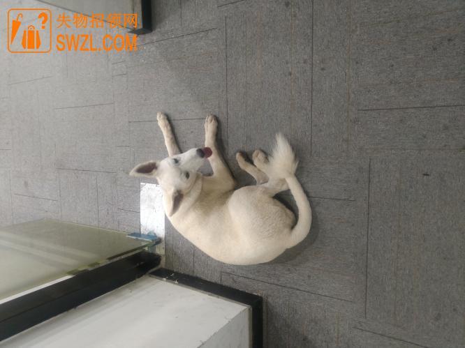 失物招领:拾到白色宠物狗一条