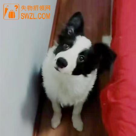 """寻物启事: 寻狗启示边牧""""熊猫"""""""