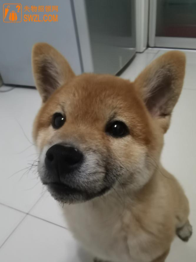 寻物启事: 小柴犬