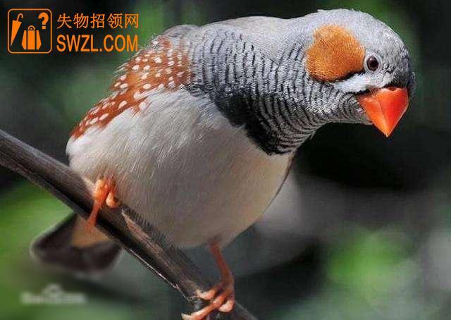寻物启事: 雄性珍珠鸟