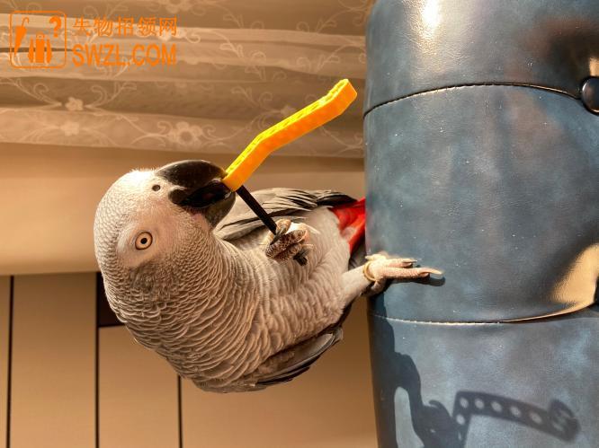 寻物启事: 寻找灰鹦鹉