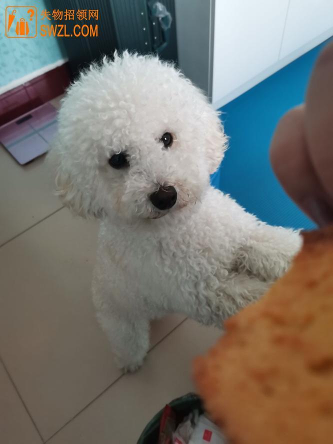 失物招领:白色狗比熊