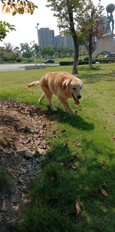 寻物启事: 寻找爱宠——金毛犬